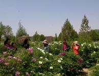 牡丹节游客正在观赏牡丹