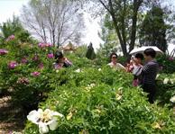 中川牡丹园游客拍照中