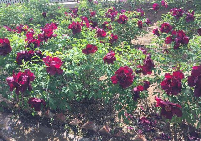 游走千亩牡丹园,闻香赏牡丹-走进中川牡丹园