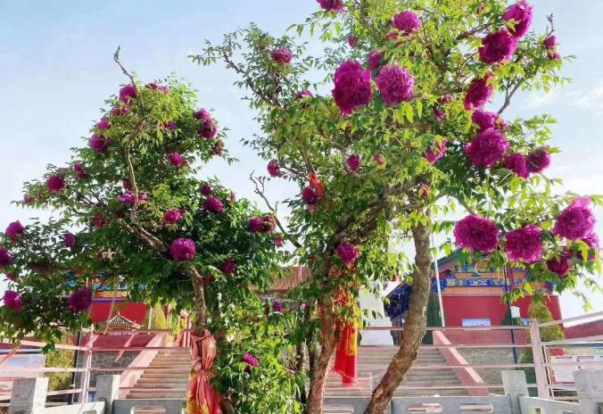 来自游客的投稿丨中川牡丹园一日游记,游中川牡丹,赏千亩花开